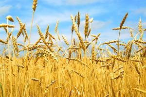 Соревнования на хлебной ниве организовал профсоюз работников АПК в Витебском  районе